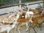 鹿の集団a1370_000261