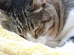 n眠い猫a0960_004665